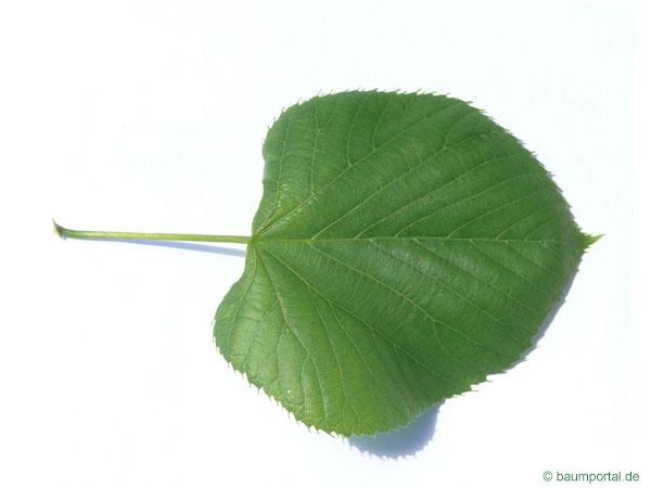 American Lime | Tilia americana