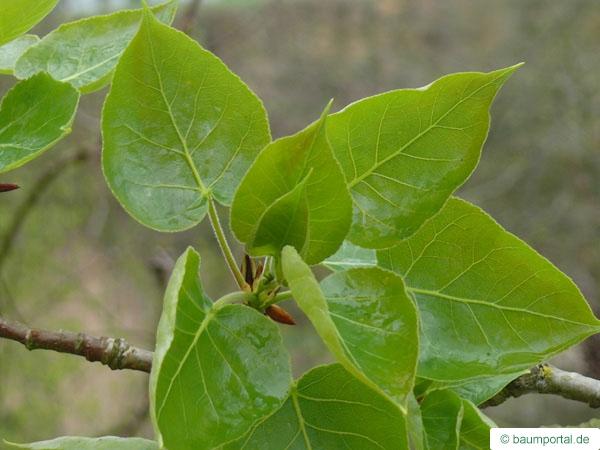 Balsam Poplar