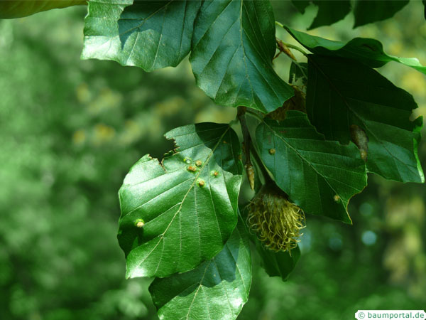hartigiola-annulipes