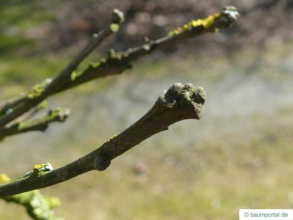 bur oak (Quercus macrocarpa) bud