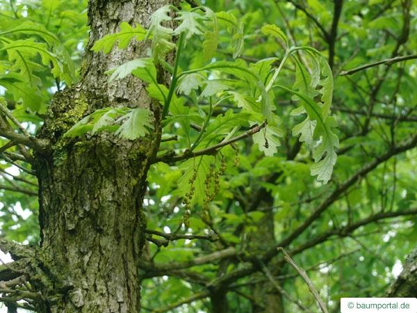 bur oak (Quercus macrocarpa) Blüten