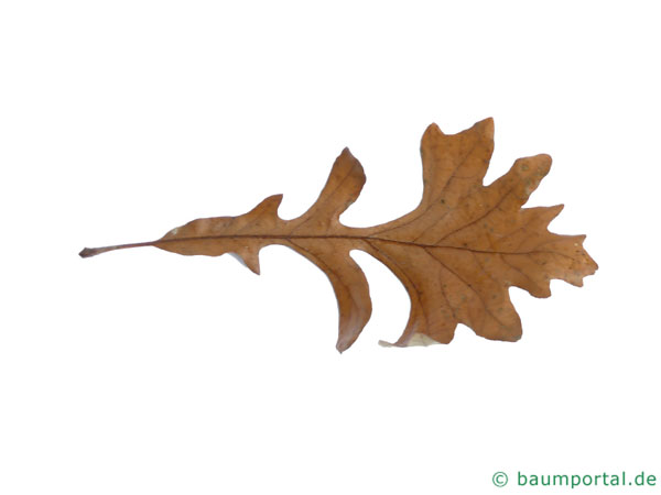bur oak (Quercus macrocarpa) leaf in Winter