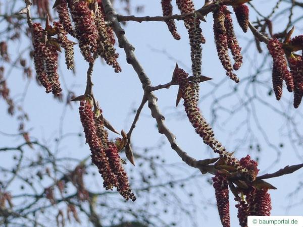 carolina poplar (Populus canadensis) flowers