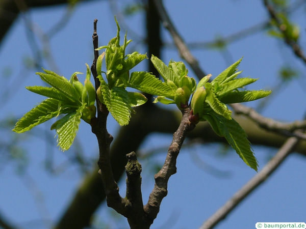 european chestnut (Castanea sativa) budding