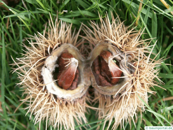 european chestnut (Castanea sativa) fruit and capsule