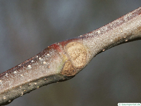 european chestnut (Castanea sativa) leaf scar