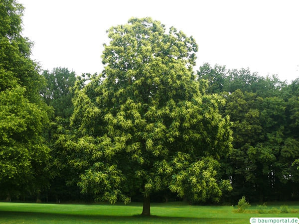 european chestnut (Castanea sativa) tree green