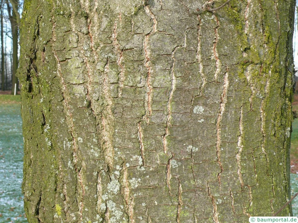 european chestnut (Castanea sativa) trunk