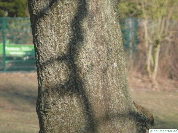 foxglove tree (Paulownia tomentosa) trunk