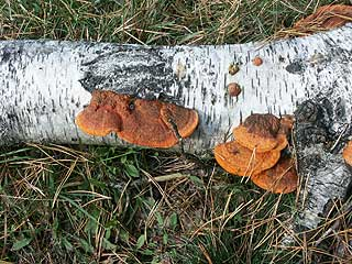 Cinnabar-red polypore (Pycnoporus cinnabarius) at birch