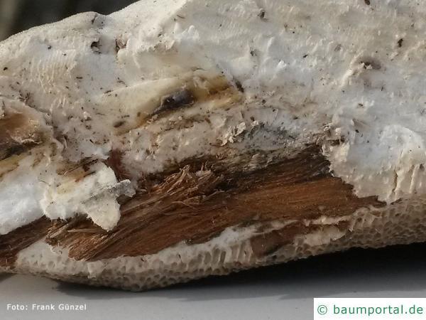 Lumpy bracket (Trametes suaveolens) cut zoom