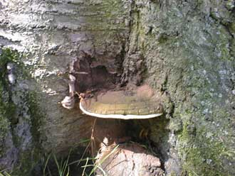 artists conk (Ganoderma lipsiense) trunk