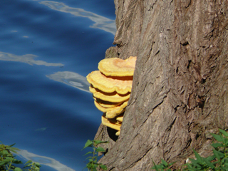 chicken of the woods (laetiporus sulphureus) at willow