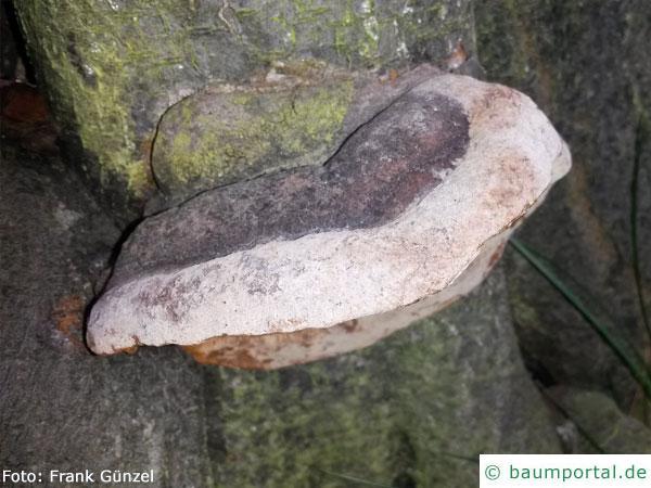 Phellinus tuberculosus top
