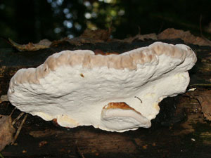 reishi (Ganoderma lucidum) underside