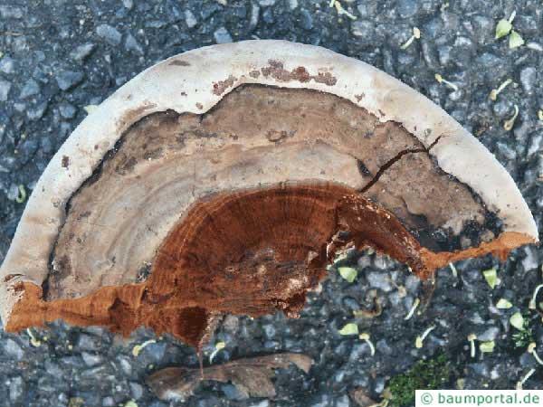 southern braket (Ganoderma adspersum) underside