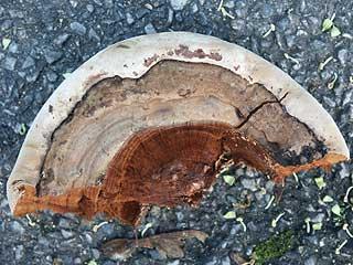 southern braket (Ganoderma adspersum)
