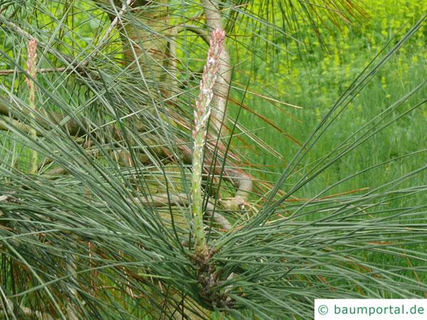 ghost pine (Pinus sabiniana) branch
