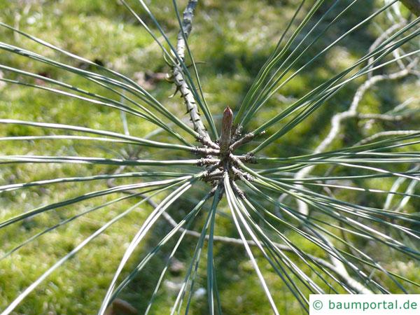 ghost pine (Pinus sabiniana) needle arrangement