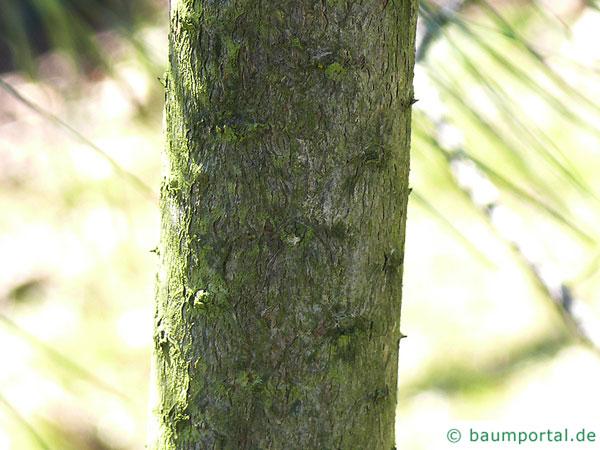 ghost pine (Pinus sabiniana) trunk / bark