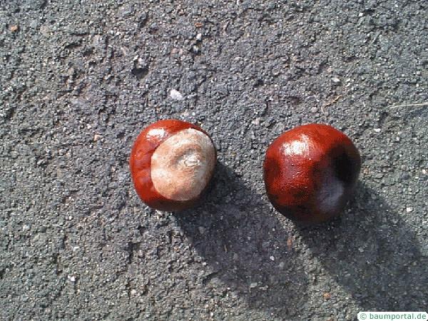 horsechestnut (Aesculus hippocastanum) fruit
