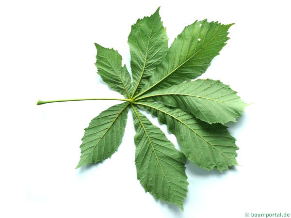 horsechestnut (Aesculus hippocastanum) leaf underside