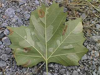 plane tree miner moth leaf backside