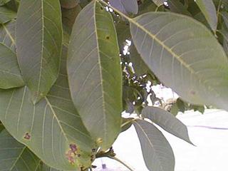 leaf spot illness on walnut leaves