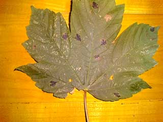 maple leaf black spots
