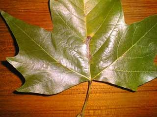 plane tree brown leaves