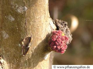 poplar gall