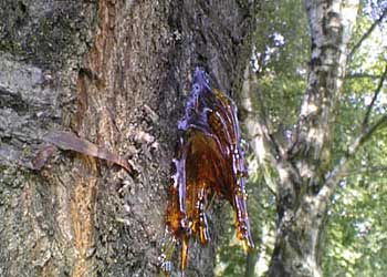sap on cherry