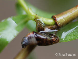 willow spittlebug