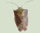 birch bug