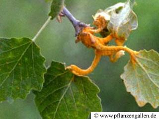 poplar rust fungus