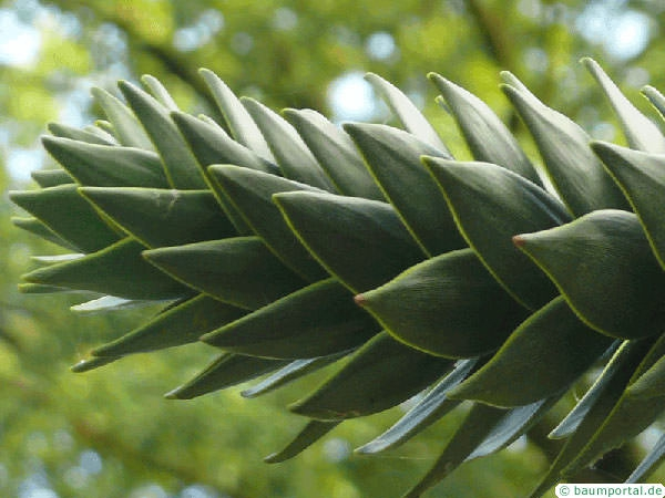 monkey tail tree (Araucaria araucana) needle