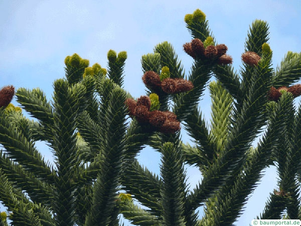 monkey tail tree (Araucaria araucana) flower / cones