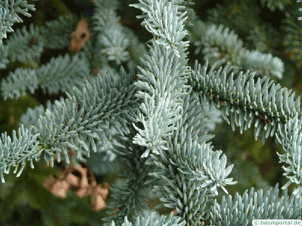 noble fir (Abies procera) branch
