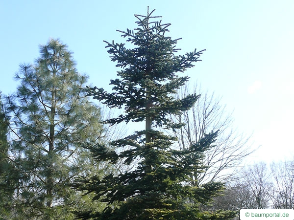 Noble Fir (Abies procera) tree
