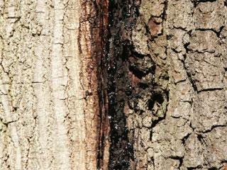 oak decline