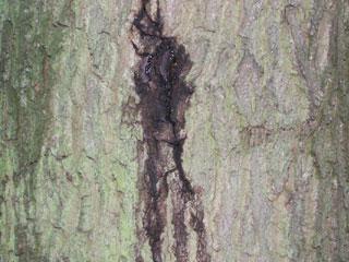 oak decline wet crack