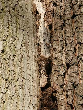 oak decline crack