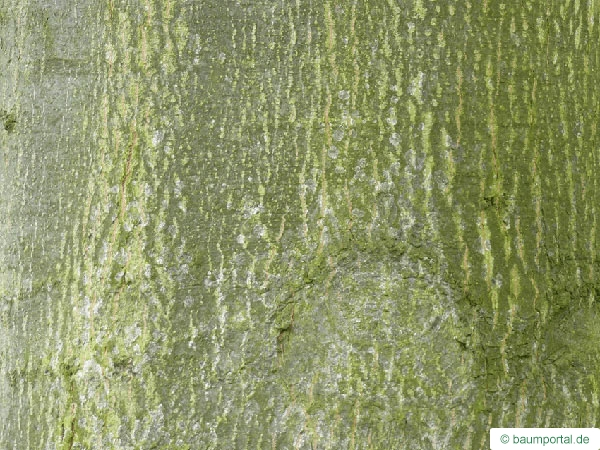 pin oak (Quercus palustis) trunk / bark