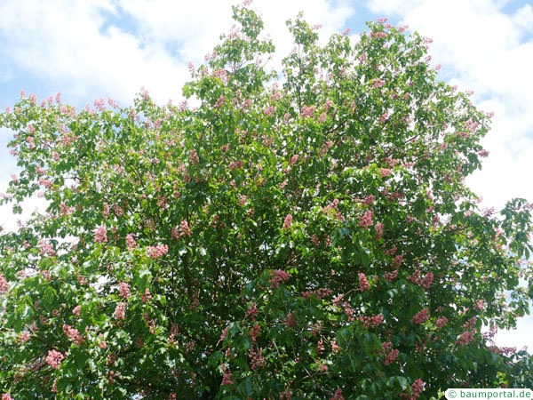ruby horsechestnut (Aesculus carnea) flowers