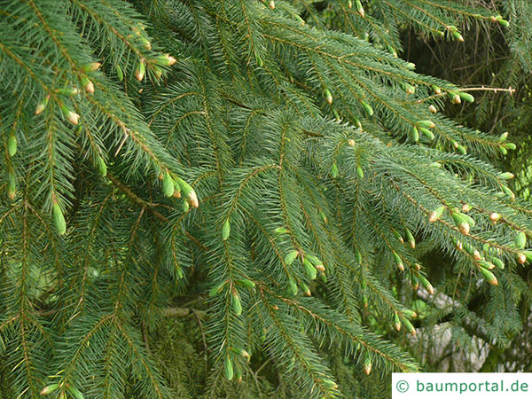 sitka spruce (Picea sitchensis) branches