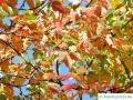 red maple (Acer rubrum) autumn foliage