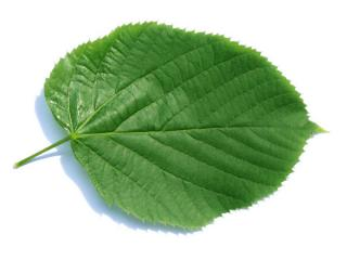 large leaved american lime(Tilia americacna 'Nova') leaf