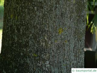 large leaved american lime(Tilia americacna 'Nova') trunk / bark