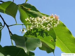 black cherry (Prunus serotina) flower