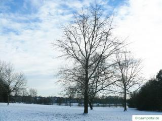 black poplar (Populus nigra) tree in winter